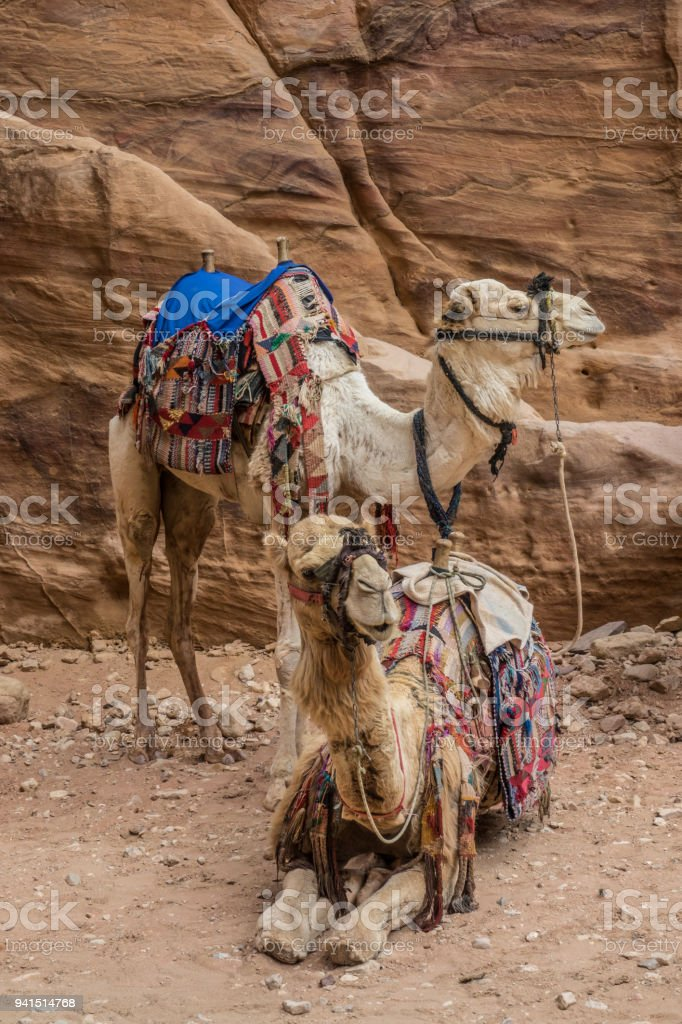 Camels resting in Petra site stock photo