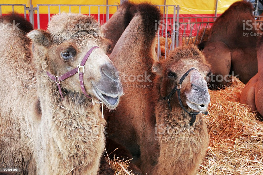 Camels resting royalty-free stock photo