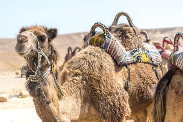 駱駝乘坐冒險在沙漠-Masada 以色列圖像檔