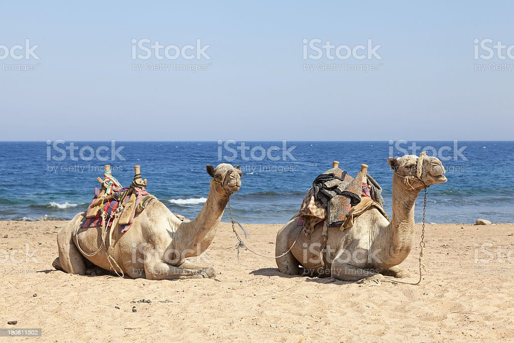 Camels sitting at  the beach stock photo