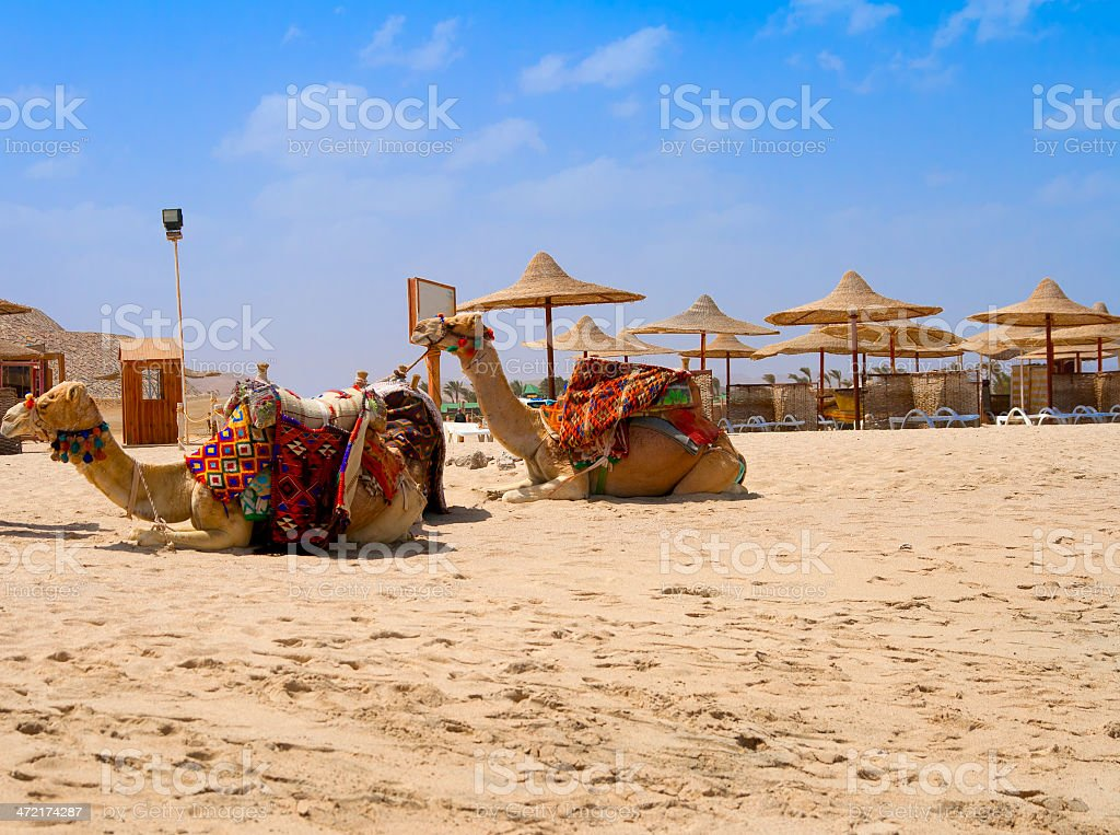 Camels sitting on sand stock photo