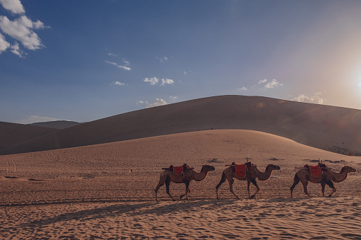 Camels traveling in sand dunes and desert at Mingsha Mountain, Dunhuang, Gansu, China