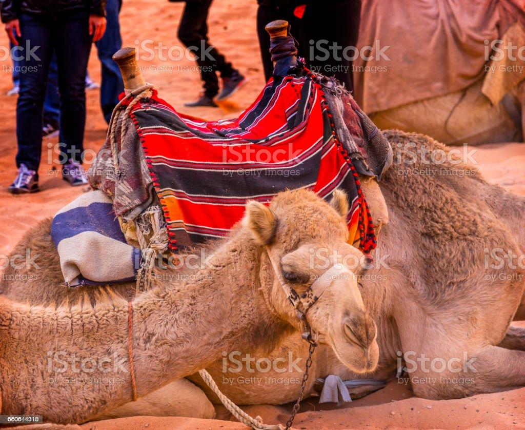Camels Valley of Moon Wadi Rum Jordan stock photo