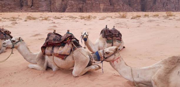 Camellos, Wadi Rum, Jordania - foto de stock