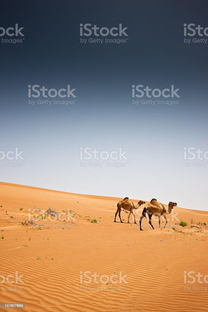 Camels Wahiba Sands Desert Arabia Oman royalty-free stock photo