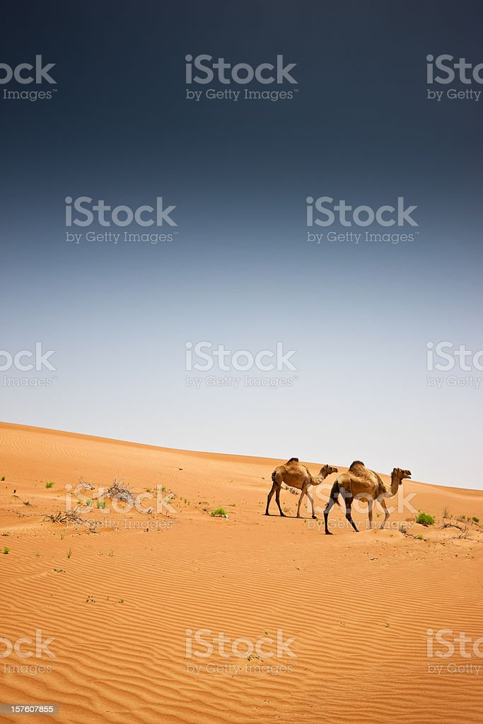 Camels Wahiba Sands Desert Arabia Oman stock photo