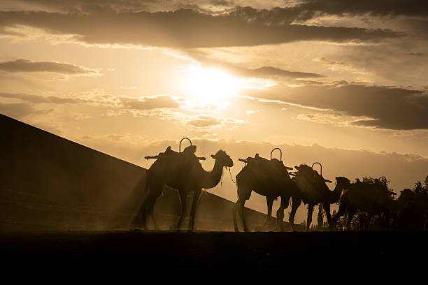 camels walking on desert at sunset camels walking on desert at sunset silk road stock pictures, royalty-free photos & images