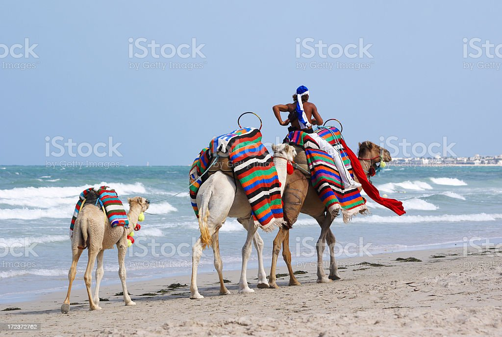 Camels walking on the beach with packs on back stock photo