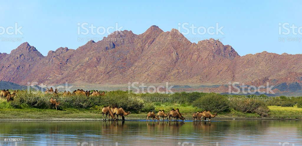 Camel's watering place stock photo