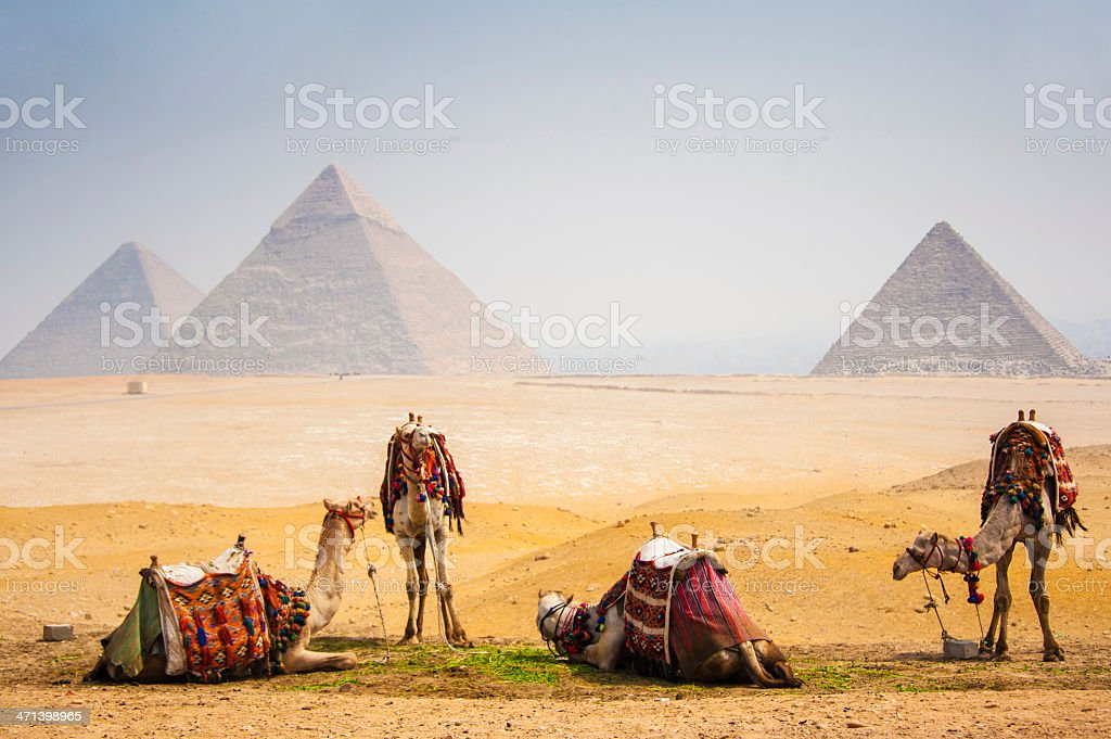 Camels with pyramid stock photo