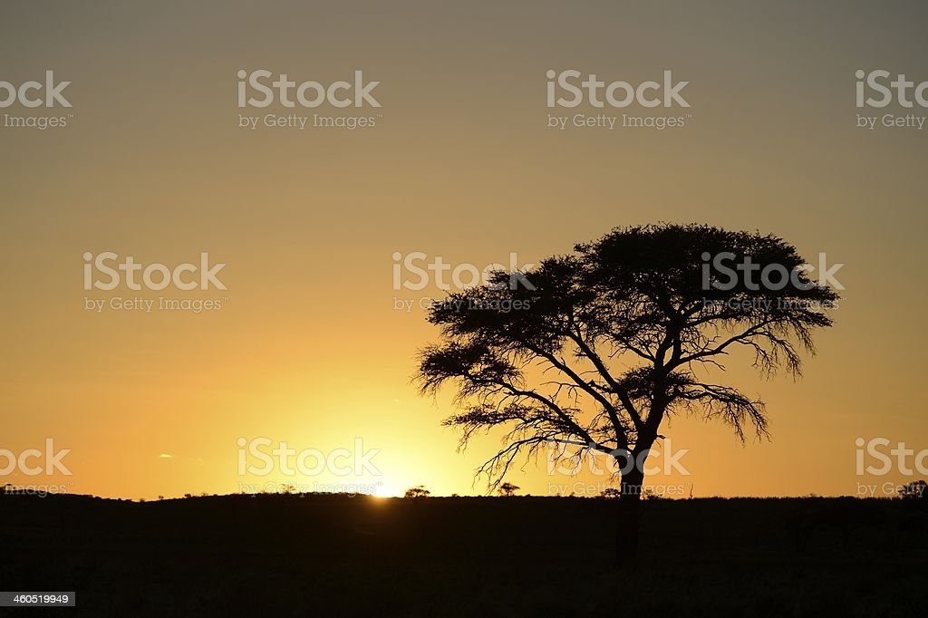 Camelthorn tree at dawn in the Kalahari desert landscape stock photo