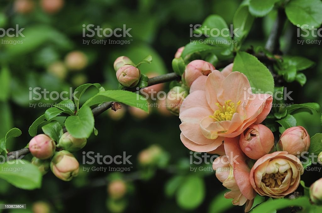 Cameo Flowering Quince stock photo