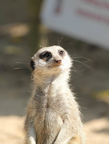 Camera Friendly Meerkat stock photo