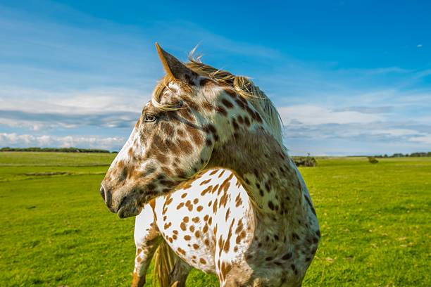Camera Shy Appaloosa Horse Appaloosa Horse enjoying the sun.  appaloosa stock pictures, royalty-free photos & images