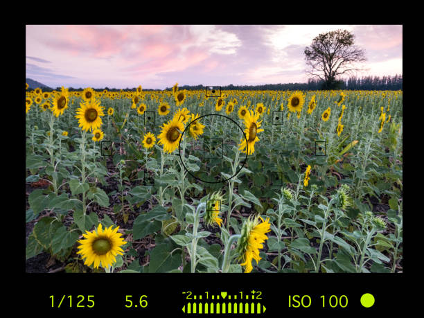 camera viewfinder with travel destination attraction. sunflower field, Lopburi, Thailand. stock photo