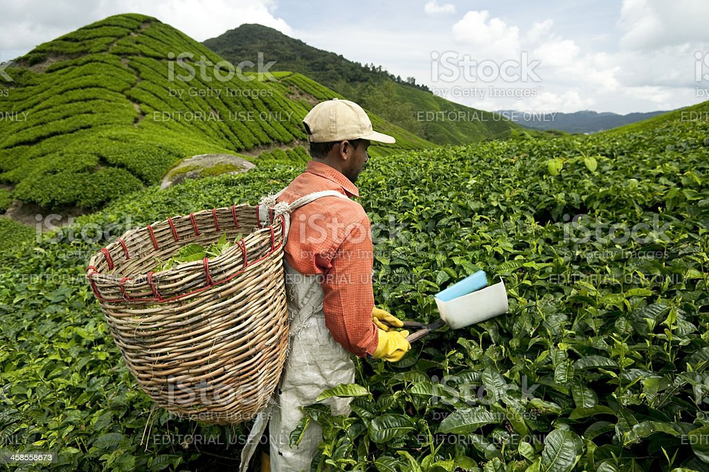 cameron highlands malaysia agricultural occupation stock photo