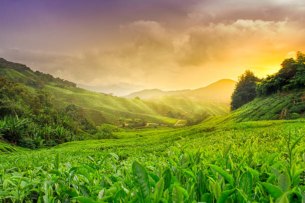 Cameron Highlands Sun setting over the Cameron Highland Tea plantations. tea crop stock pictures, royalty-free photos & images