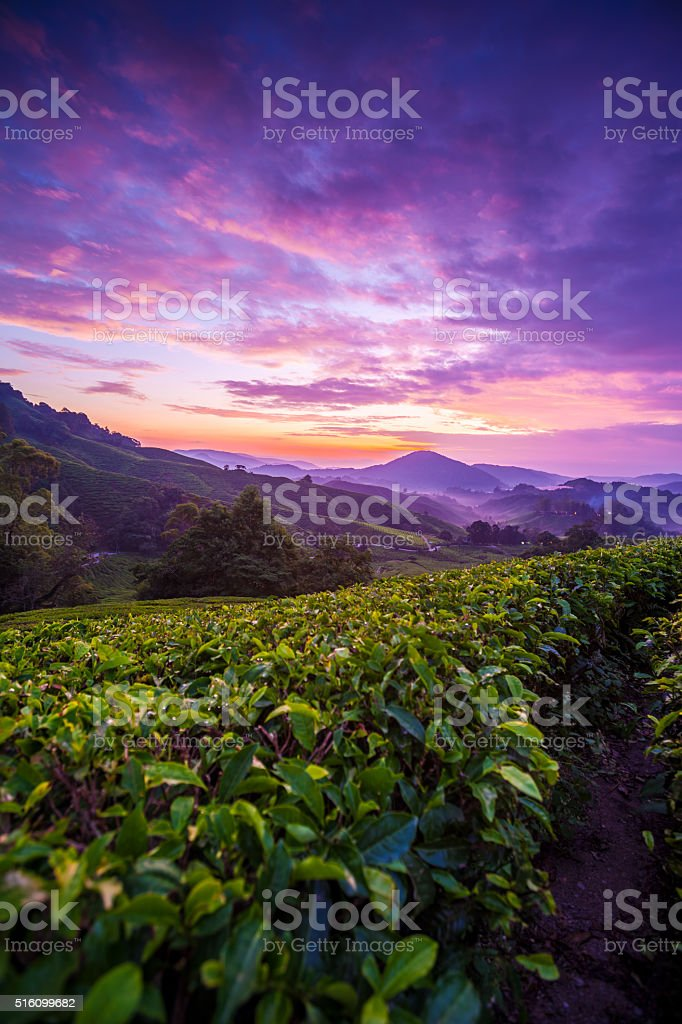 Cameron Highlands tea plantation at dawn with cloudy sky stock photo