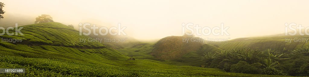 Cameron Highlands Tea Plantation stock photo
