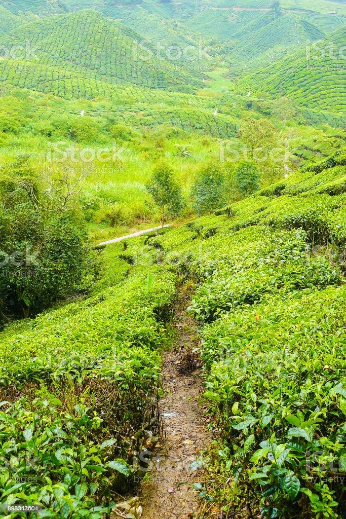 cameron valley malaysia tea plantations panorama stock photo