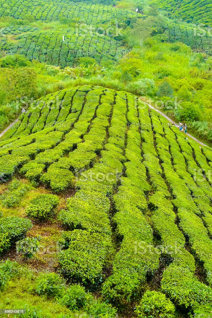 cameron valley malaysia tea plantations panorama with workers on the path stock photo