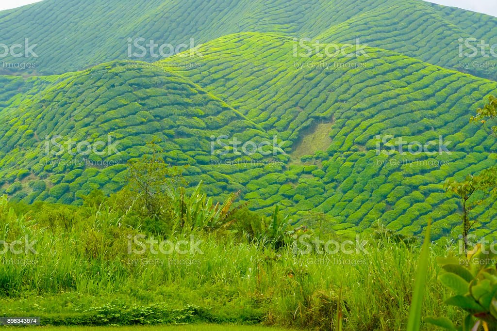 cameron valley malaysia tea plantations stock photo