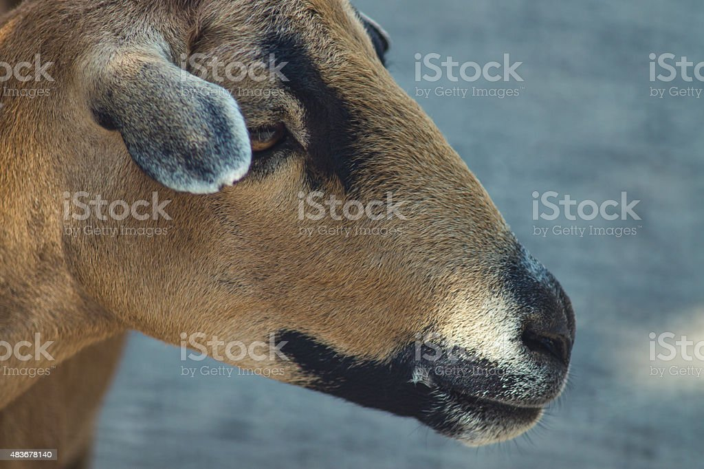 Cameroon sheep stock photo