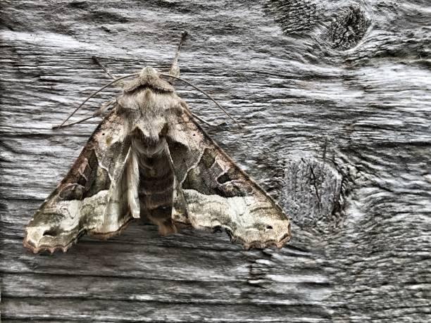 Camoflauge Moth Nighttime landscape stock photo