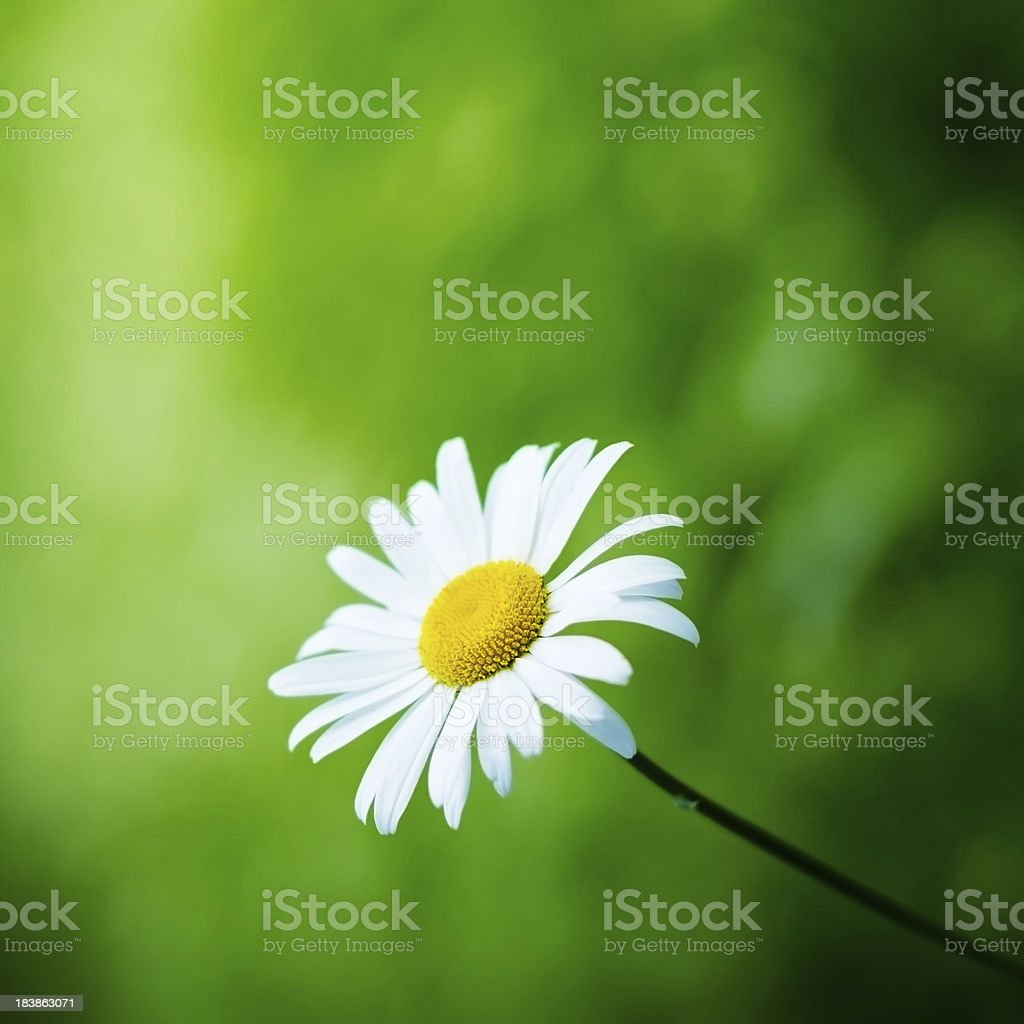 Camomile against green defocused background royalty-free stock photo