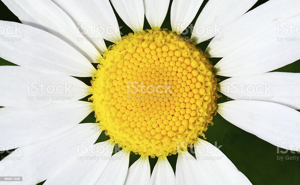 camomile close up royalty-free stock photo