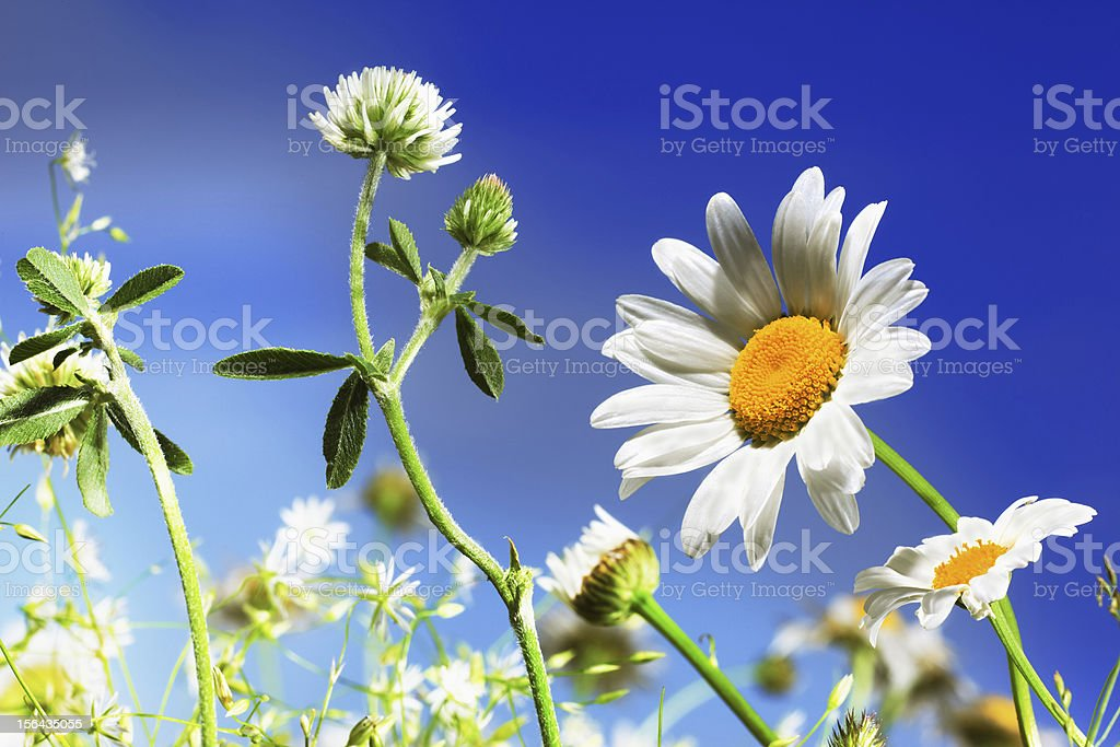 Camomile, clover and the blue sky royalty-free stock photo