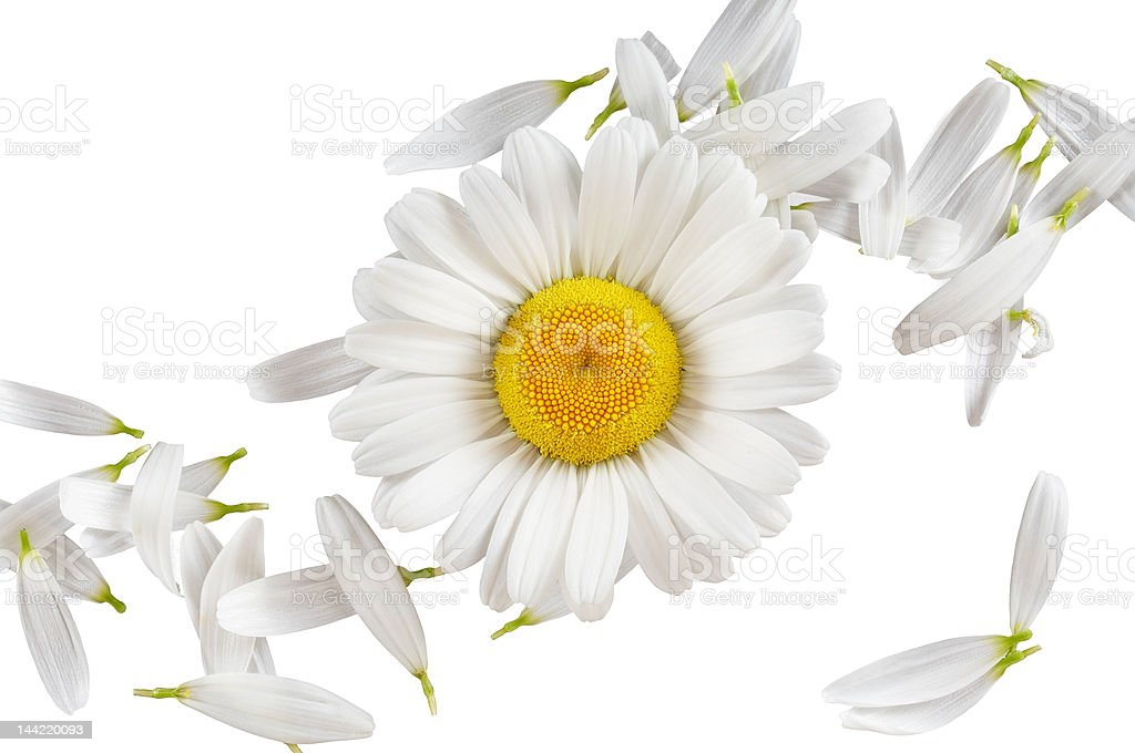 Camomile concept royalty-free stock photo