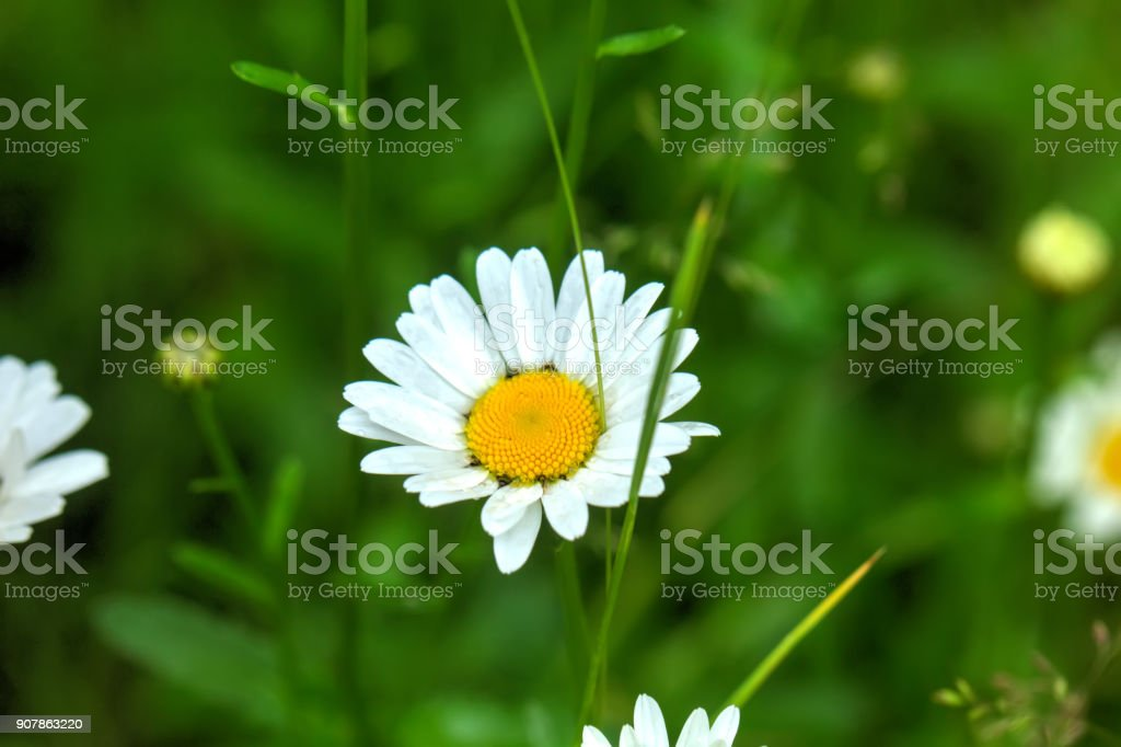 Camomile. Field flower. stock photo