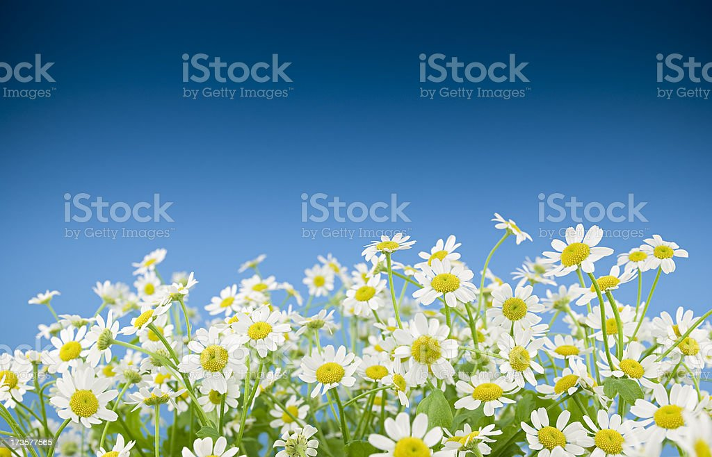 Camomile field royalty-free stock photo