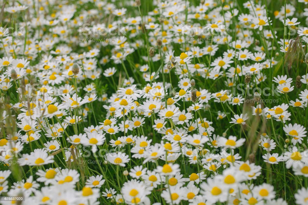 Camomile flower background. Spring background. Field of daisies. Flower background and texture. Abstract white flowers background. Macro view of daisy. Daisies in bloom. photo libre de droits