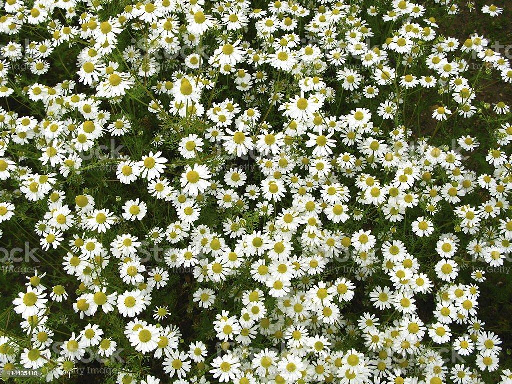 Camomile  Flower - Matricaria recutita royalty-free stock photo
