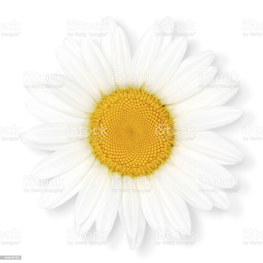 Camomile flower. royalty-free stock photo
