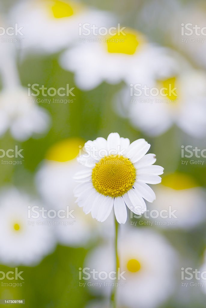 Camomile flowers. royalty-free stock photo
