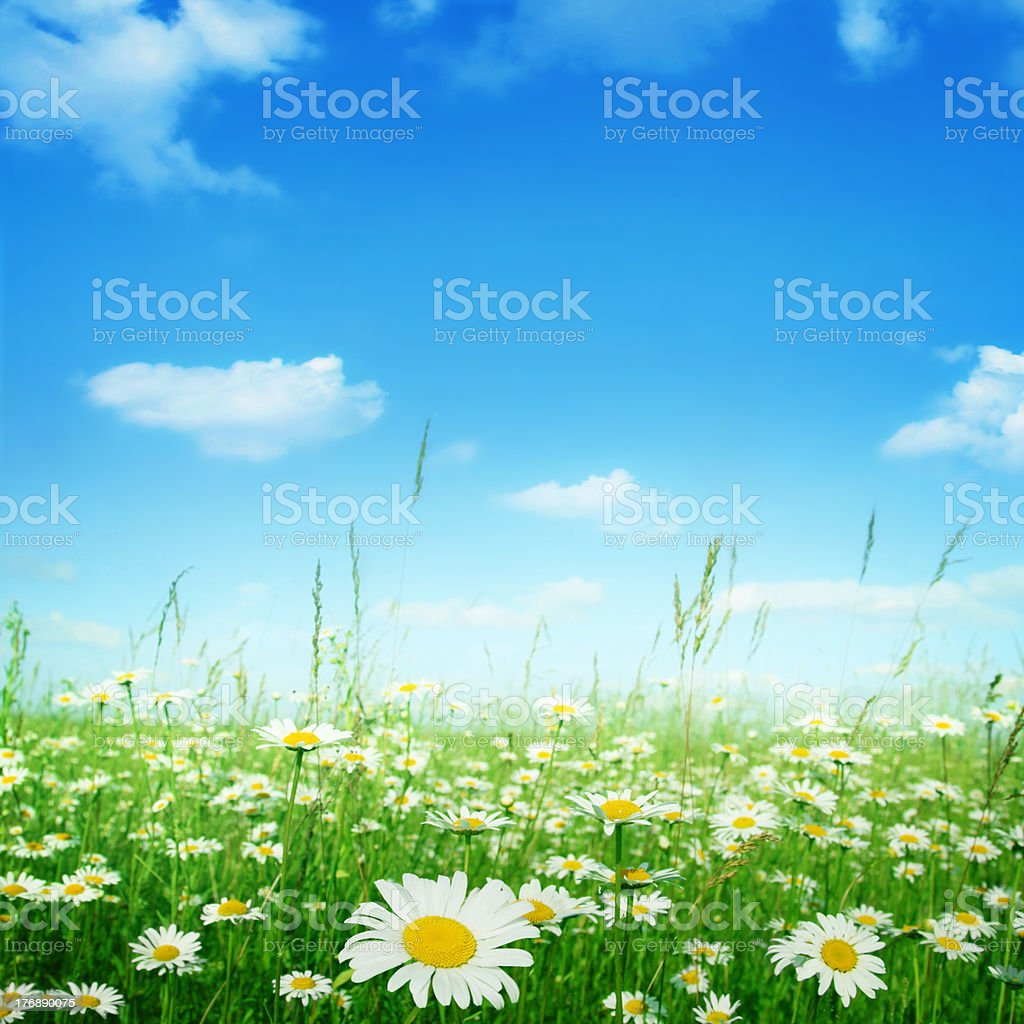 Camomile flowers under blue sky. stock photo