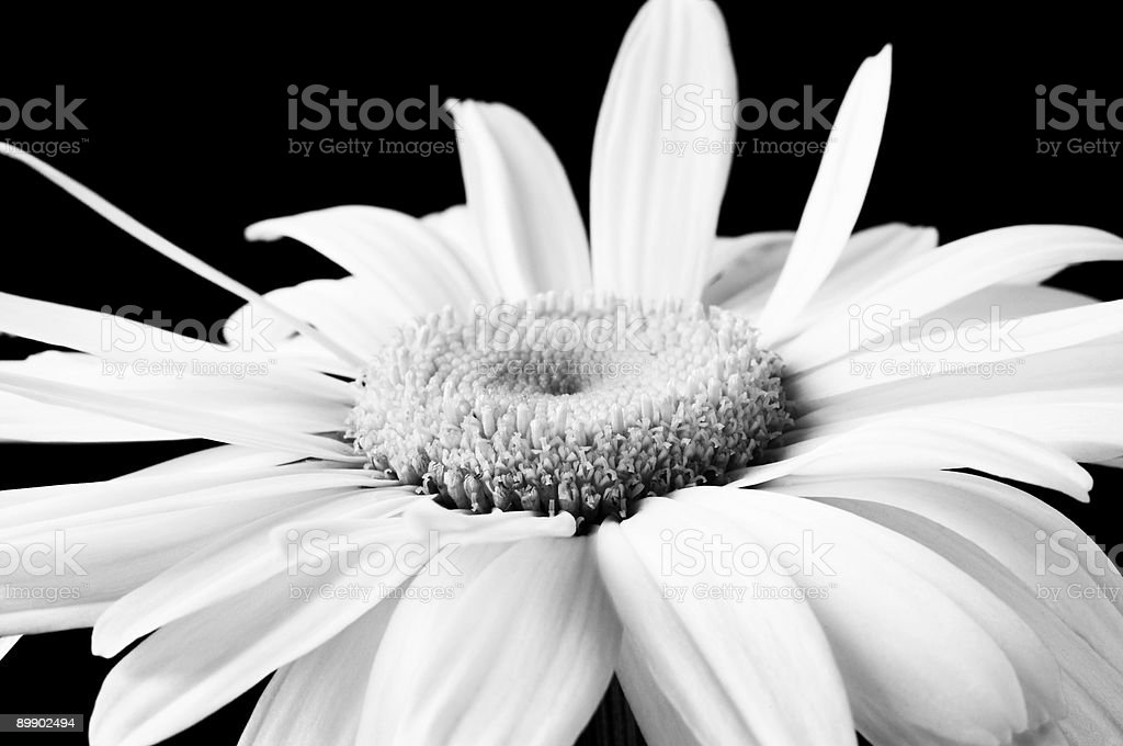 camomile in close up royalty-free stock photo