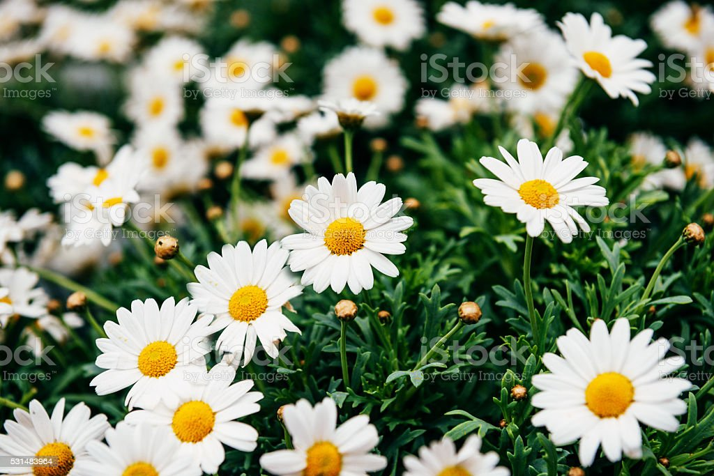 Camomile in old style photo, desaturated colors and grain added stock photo