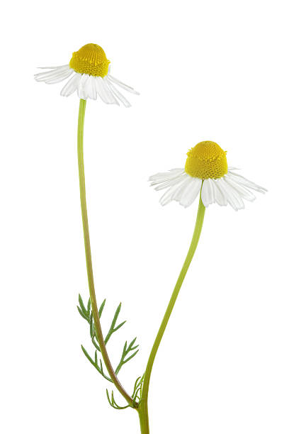 camomile isolated on white - 甘菊 個照片及圖片檔