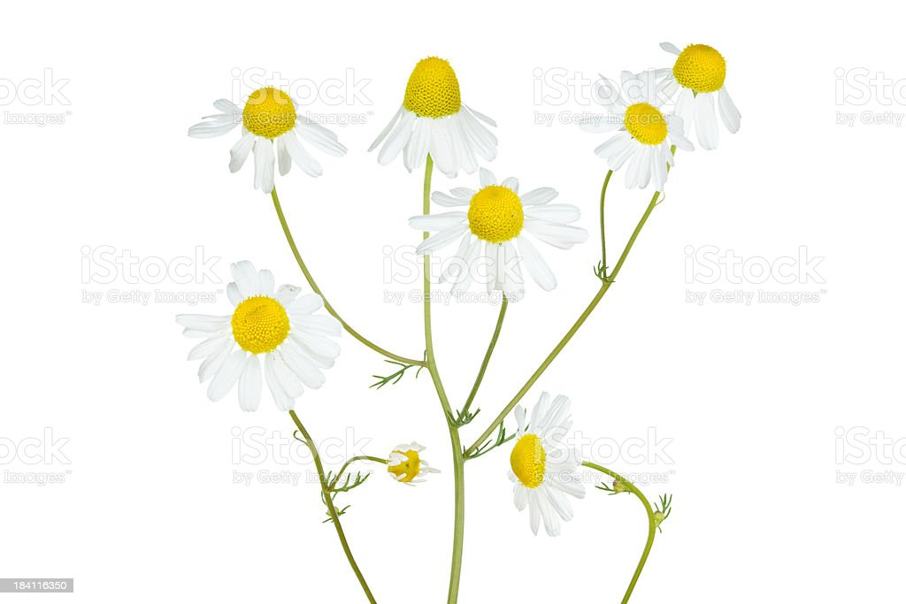 camomile isolated on white stock photo