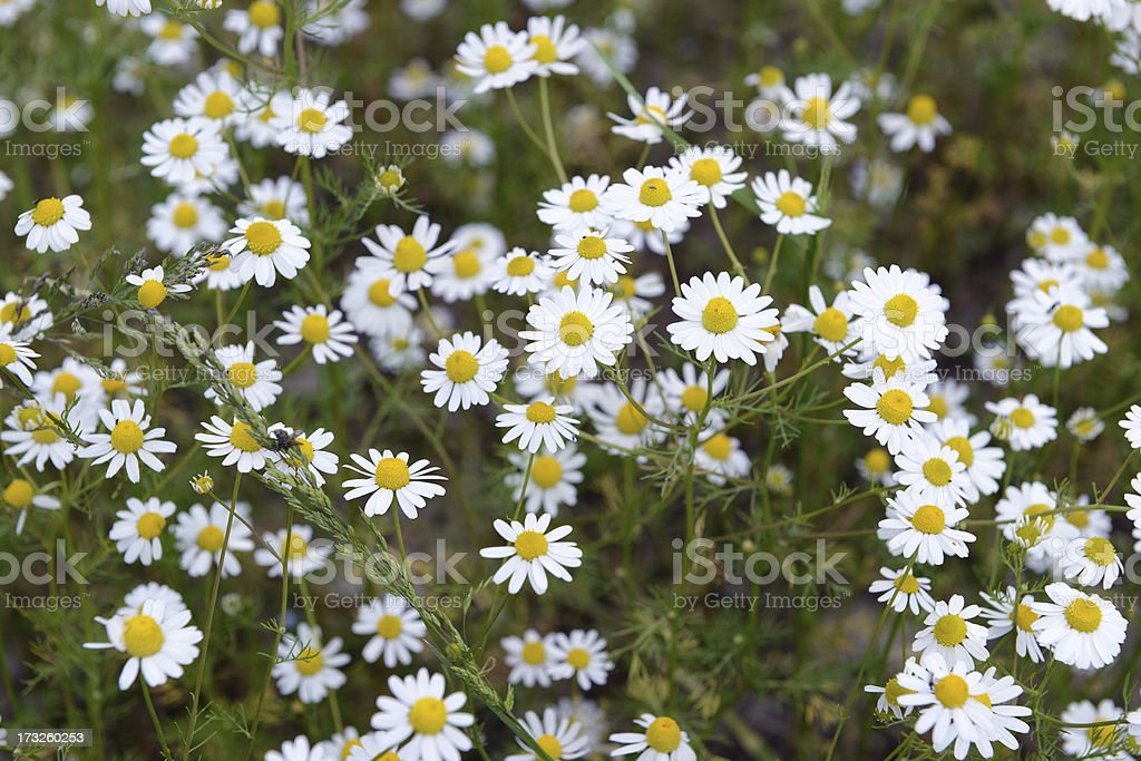 Camomile (Matricaria chamomilla) royalty-free stock photo