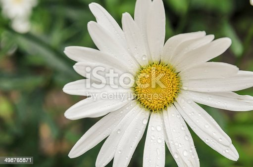 Camomile with drops of dew