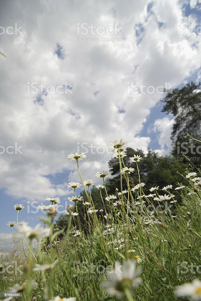 Camomile royalty-free stock photo