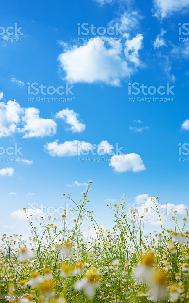 Camomile plants and flowers set against a blue sky royalty-free stock photo