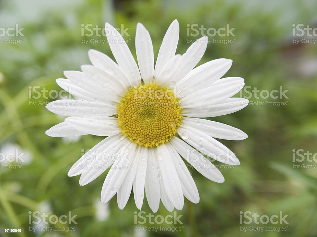 Camomile with drops of water royalty-free stock photo