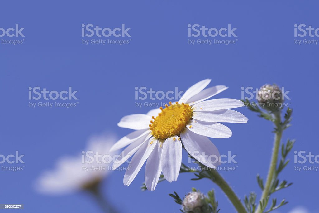 Camomiles and blue sky stock photo