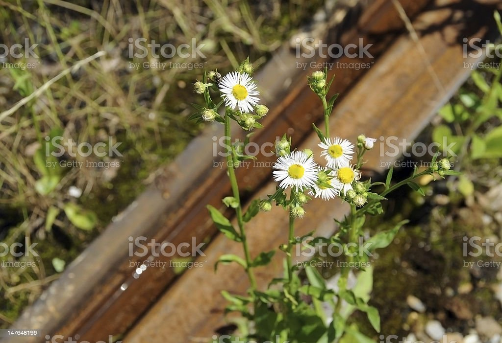 Camomiles and rusty railway royalty-free stock photo